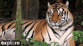 Download Tiger Lake - Big Cat Rescue powered by EXPLORE.org Video