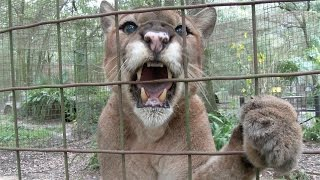 Download BIG Cats With BIG Cattitudes Video