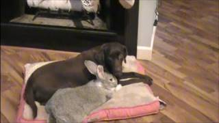Download Giant Rabbit Playing With Dog Video