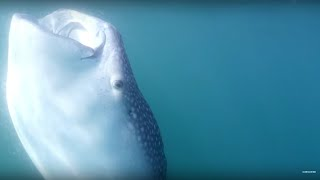 Download Tagging the Largest Shark on Earth #OurBluePlanet - BBC Earth Video