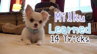 Download チワワ 子犬のしつけ みるくが学んだ 14の芸 生後3ヶ月❤Chihuahua Puppy Training Milku Learned 14 Tricks 3 Months Old Video