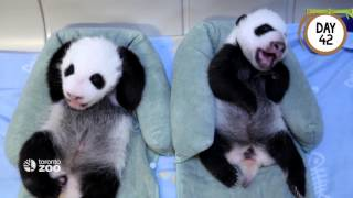 Download First 100 Days Of Toronto Zoo's Giant Panda Cubs Video