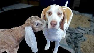 Download Maymo Dog and Goats Kiss, Play, and Jump Around Video