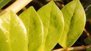 Download У ЗАМИОКУЛЬКАСА желтеют и сохнут листья ❖❖❖ Проблемы с ДОЛЛАРОВЫМ ДЕРЕВОМ и их решение Video