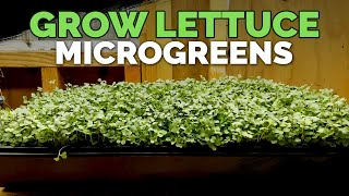 Download How to Grow Lettuce Microgreens Fast & Easy🌱 Video