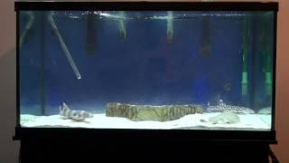 Download Shark and Stingray Grow Out Aquarium Video