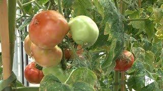 Download Aroma del tomate para proteger cultivos - Noticia @UPVTV, 10-01-2019 Video