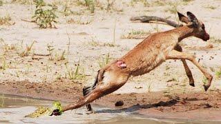Download Baby Crocodile vs Baby Impala Video