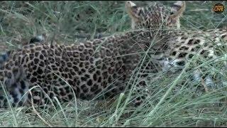Download Pt 2 Safari Live's Sunset Safari Drive at 4:30 PM on Jan 17, 2018 ( Nkuhumas & Thandi with Cub ) Video