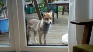 Download Friendly Fox Video