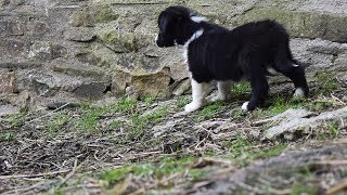 Download Border Collie Pups For Sale! so cute!! Video