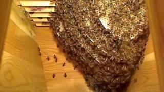 Download High speed summary of Life inside the Beehive / Snabbspolning genom livet i bisamhället Video
