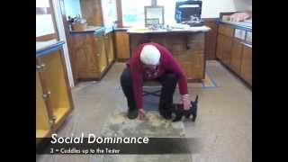 Download Portuguese Water Dog Puppy Temperament Evaluation Video