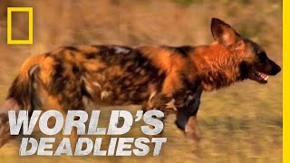 Download Killer Caretakers: Painted Dogs | World's Deadliest Video