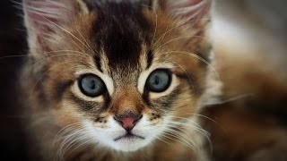 Download Top 10 Most Friendliest Cat Breeds in the World - Top Ten Stuffs Video