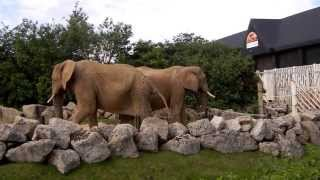 Download Elephants Pee together in Colchester Zoo Video