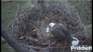 Download SWFL Eagles ~ M15 Sees Both Eggs Thanksgiving Morning! 11.23.17 Video