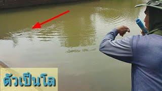 Download ยิงปลาตัวใหญ่ !! ลากเข้าฝั่งเกือบไม่ได้เอ็นจะขาด ยิงจากที่สูงยังโดน ปลานิลเยอะจัดขนาดน้ำเหลือน้อย Video