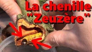 Download La chenille zeuzère Video