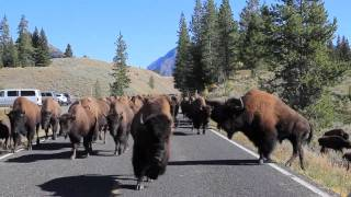 Download Bison Charge - Yellowstone National Park Video