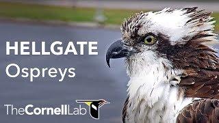 Download Cornell Lab   University of Montana Hellgate Ospreys Offseason View Video
