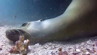 Download Sea Lion Playing with Scuba Divers in the Galapagos Islands Video