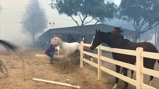 Download Horses freed from enclosure to escape California wildfire Video