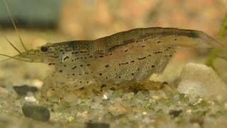 Download Amano Shrimp (Caridina multidentata) - Breeding Part 1. Video