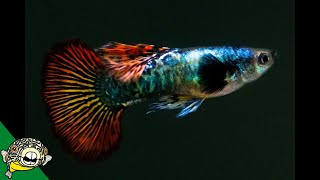 Download Best Guppies I've ever seen in my life! I'm in love. Daily dose 55 Video