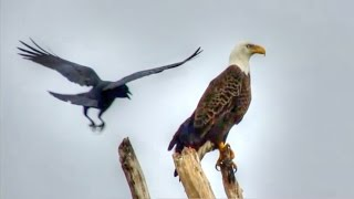 Download American Crow Cawing at Bald Eagle Video