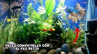Download La COMPATIBILIDAD del PEZ BETTA | Peces COMPATIBLES con el BETTA | AcuariosLP Video