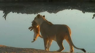 Download SafariLive August 25. When a lion cub won't listen to mom. :) Video
