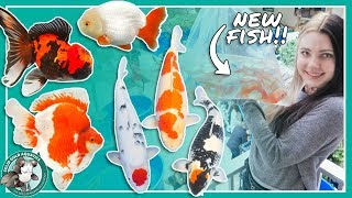 Download Buying New Fish at the Koi Show! Video