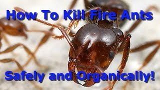 Download The Best Way To Organically Kill Fire Ants! Video
