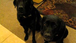 Download Funny Dog snitches on sibling. Who stole the cookie? barkbadges Video