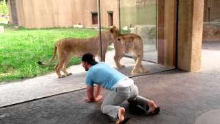 Download How to play with lions at the zoo Video