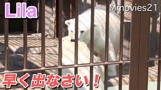 Download Polar bears are wary「早く出なさい!」ララに怒られたリラ Video