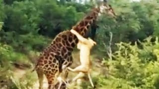 Download Lion Pride Kill Giraffe in Riverbed - Latest Wildlife Sightings Video