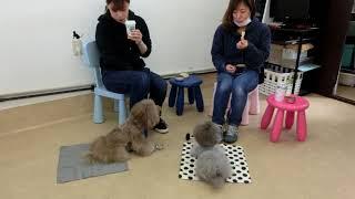 Download 犬の幼稚園 アンジュちゃん・シエルちゃんとトレーニング Video