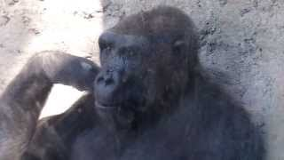 Download GORILLA PLAYS WITH BOY AT ZOO! Funny! Video