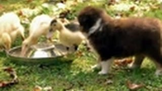 Download Puppies Herd Ducklings | Too Cute Video