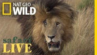 Download Meet the Lion Named 'Scarface' and His Lethal Pride | Nat Geo Wild Video