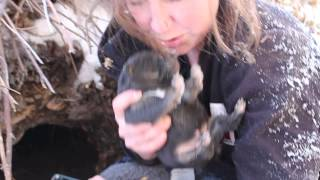 Download SCARS Puppy Rescue, Winter 2014 - Den Puppies Video