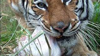Download Turkey Day for TIGERS! Video