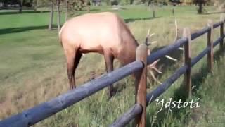 Download Bull Elk Protecting His Harem Bugling Charging Crowd Estes Park Colorado 2012 Video