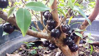 Download jaboticaba : pohon jambu berbuah anggur Video