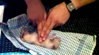 Download Help my new born puppy breathing again Video