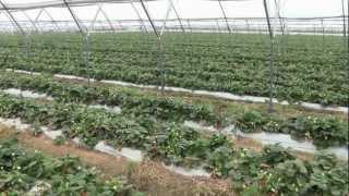 Download Owoce jagodowe w tunelach - na zagonach czy na rynnach? Video