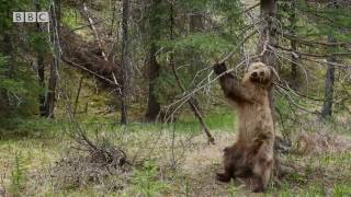 Download Bears Dancing To 'Jungle Boogie' | Planet Earth II Video