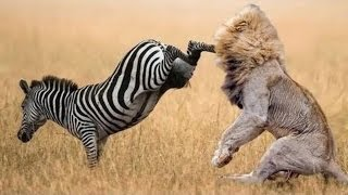 Download When Prey Fights Back | Most Amazing Animal Attack Fails 2016 Video